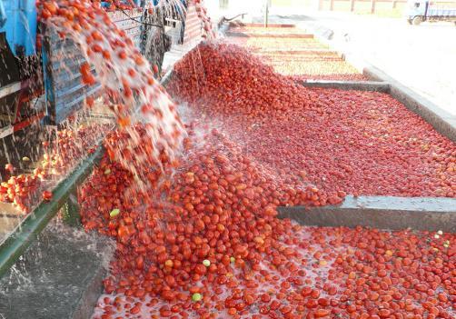 Línea de procesamiento de tomates